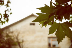 Branch of plane tree s and  facade of cottage. Branch of plane tree with green leaves and  facade of cottage. Retro style photo Stock Images