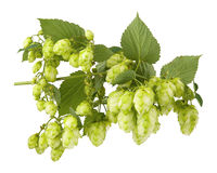 Branch plants hops with leaves and cones Stock Photo
