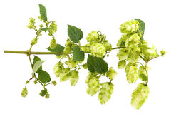 Branch plants hops, with leaves and cones Royalty Free Stock Images