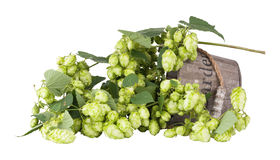 Branch plants hops, with leaves and cones lying in a wooden bucket Stock Image