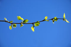 A branch of platanus acerifolia  in spring Royalty Free Stock Photos
