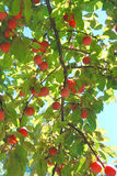 A branch with plum Royalty Free Stock Photos