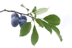 Branch of plum. Isolated branch of plum with leaves and fruits Stock Photography