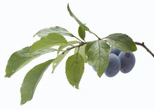 Branch of plum Royalty Free Stock Photos