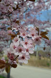 A branch of plum blossom. Light pink plum blossom in spring Royalty Free Stock Photography