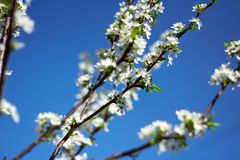 Branch of plum blossoms Royalty Free Stock Images