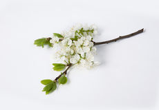 Branch of plum blossoms Stock Images