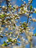 Branch of plum-tree Royalty Free Stock Photo