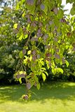 Branch of plum-tree. Royalty Free Stock Photos