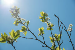 Branch of plum tree with blooming flowers Stock Image