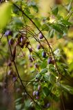 Branch of a plum tree with fruits hanging on it. Gardening stock photo