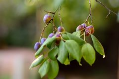 Branch of a plum tree with fruits hanging on it in the garden. Gardening stock photos