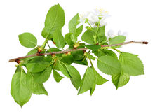 Branch of plum tree with green leaf and flowers Stock Image