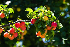 Branch of plum tree Royalty Free Stock Image