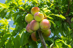 A branch of plum on the tree. Ripe plums on a tree branch closeup Stock Photography