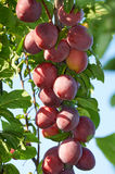 Branch of plum tree with  ripening fruits Stock Image