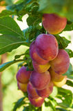 Branch of plum tree with  ripening fruits Stock Images