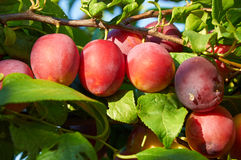 Branch of plum tree with  ripening fruits Stock Photography