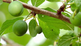 A branch of plum tree with unripe fruits. A branch with leafs of plum tree with unripe green fruits stock video