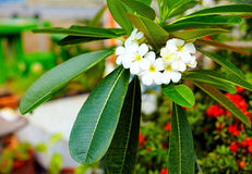 Branch of plumeria flower (frangipani) in tropical garden Royalty Free Stock Photo