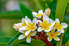 Branch of plumeria flowers Stock Photography