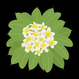 Branch of plumeria with many flowers and leaves on a black background, square Stock Photo