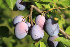 Branch Of Plums Royalty Free Stock Photos