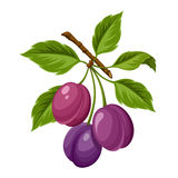 Branch of plums. Vector illustration. Royalty Free Stock Images