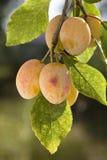 branch plums yellow Стоковое Изображение