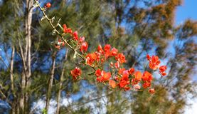 Branch of Poinciana - red blooming tree - against blurred background of gum trees royalty free stock photos