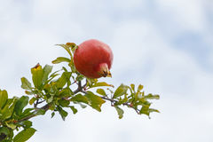Branch of pomegranate tree Stock Photos