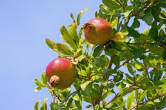 Branch of a pomegranate tree Punica granatum with leaves and ripe fruits against a blue sky background. Free space for text. Branch of a pomegranate tree Punica Royalty Free Stock Photography