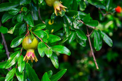 Branch of pomegranate tree. With small red fruits closeup Royalty Free Stock Photography