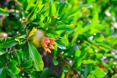Branch of pomegranate tree. With small red fruits closeup Royalty Free Stock Photo