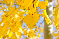 Branch of poplar. A branch of poplar with yellow leaves Stock Image