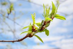 Branch of poplar tree with young buds and green leaves. Natural allergen. Live nature Royalty Free Stock Photos
