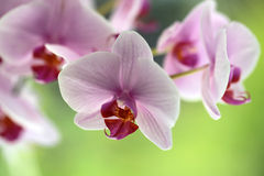 Branch of pretty pink orchid Stock Photo