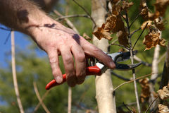 Branch Pruning Royalty Free Stock Images