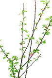 Branch prunus triloba isolated in white Stock Photos