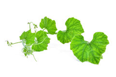 Branch of pumpkin leaf isolated on white background stock photos