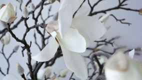 Branch of pure white orchid. On white background stock video