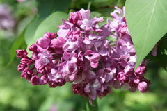 Branch of Purple Lilac Stock Images