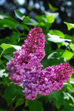 Branch of purple lilac Stock Image