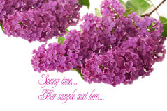 Branch of purple lilac as background Royalty Free Stock Image