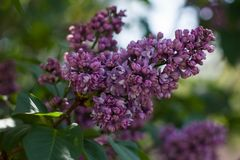 Branch of purple lilac blooms in spring on a sunny day stock image