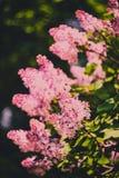 Branch of purple lilac flowers (Syringa vulgaris) Royalty Free Stock Images