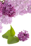 Branch purple lilacs Royalty Free Stock Photography