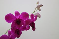 A branch of purple orchid flowers on white wall. Close up a branch of purple orchid flowers on white wall royalty free stock image