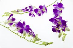 Branch purple orchid  on white background Royalty Free Stock Photo