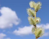 A branch of pussy willow Royalty Free Stock Photography